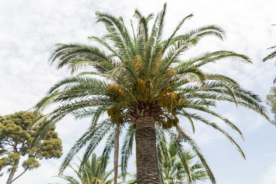 palmier à la villa mauresque à saint raphael